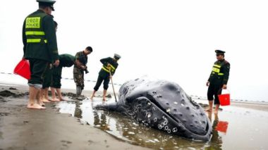 Stranded humpback whale dies on east China beach despite two rescue attempts