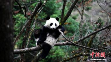 China to release two more giant pandas into the wild
