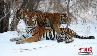 Siberian tigers spotted frequently crossing Sino-Russian border