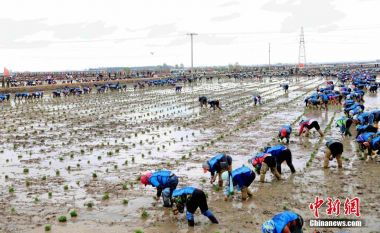 Obscure world record alert: China awaits record for most people transplanting seedlings