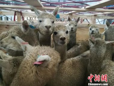 Chinese province buys 700 alpacas from Australia