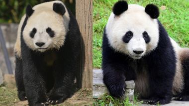 Giant pandas to arrive in Finland on Thursday