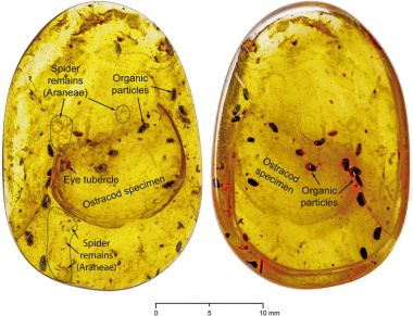 Gigantic marine ostracod found preserved in amber