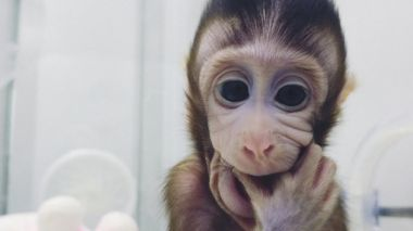 Chinese scientists clone world's first macaque monkeys