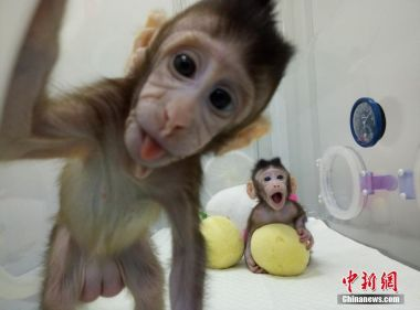 Third cloned monkey will soon be born in China