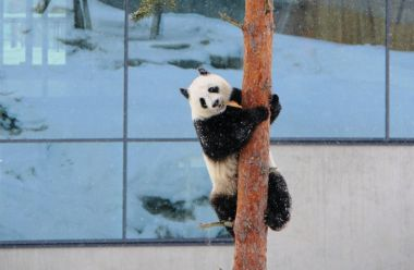 Pandas' first appearance at Finland zoo delights the public