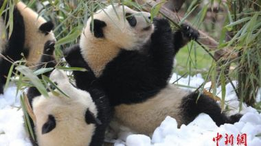 China includes anti-poverty measures in giant panda national park plan