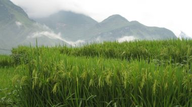 Huawei to develop 'sea rice' with renowned Chinese agriculturalist