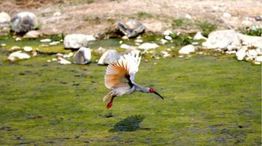 Endangered crested ibis population rises steadily in China