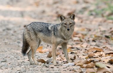 Golden jackal spotted in China for the first time