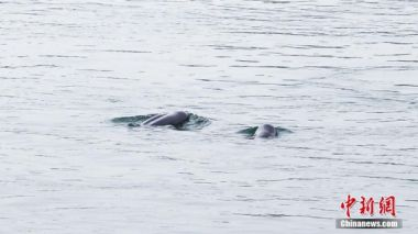Yangtze finless porpoise population drops to 1,012