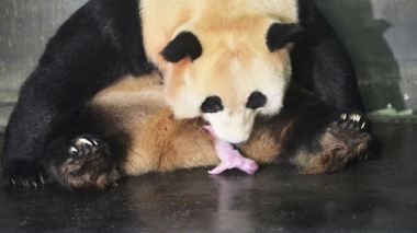 First twin cubs born to captive-bred and wild giant pandas in China