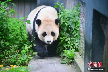 Premier League champions adopt a panda in SW China