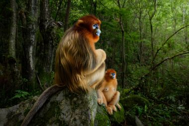 Top wildlife photo prize awarded to image of Chinese golden snub-nosed monkeys