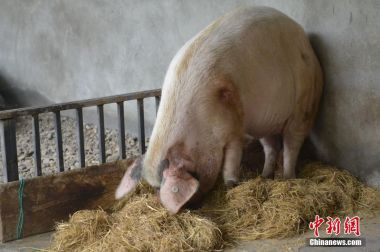 China says African swine fever under control