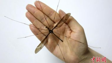 World's biggest crane fly found in China officially verified