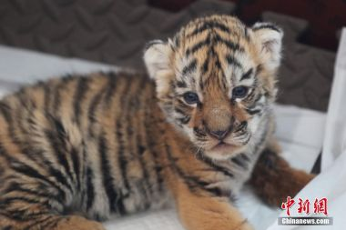 98 Siberian tiger cubs born in NE China this year