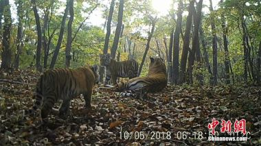 Siberian tiger family caught on camera in NE China