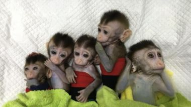 Five gene-edited monkeys cloned by China
