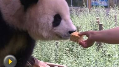 Picky panda refuses to eat mooncakes in Yunnan Zoo