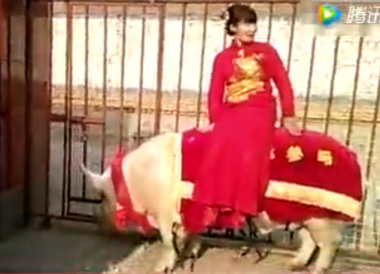Chinese bride travels to wedding on massive pig