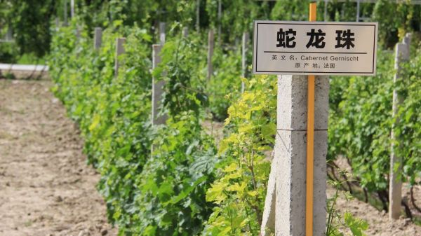 Chinese ice wine is heating up the competition
