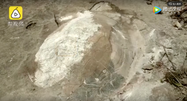 Jurassic period snake-necked turtle fossil found in SW China