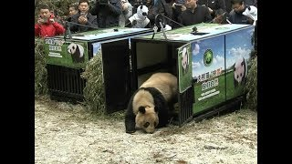 China releases a pair of pandas into the wild after being bred in captivity