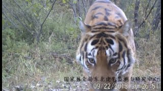 China sets up monitoring system for Siberian tiger and Amur leopard conservation