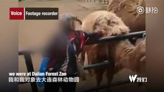 Camel assaulted by elderly Chinese woman