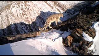 Camera traps capture snow leopards in action 56 times