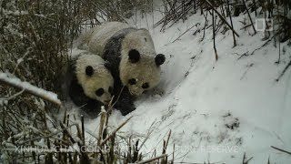 Cameras capture unique and intimate moments of giant pandas in the wild
