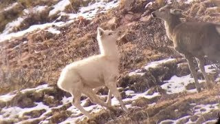 Rare white elk filmed for the first time in China