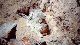 Cameras catch footage of snow leopards mating on mountainside