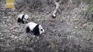 Wild giant panda pairs caught in action by infrared cameras