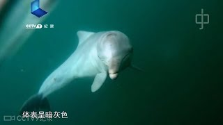 Pod of endangered Chinese white dolphins spotted in S China