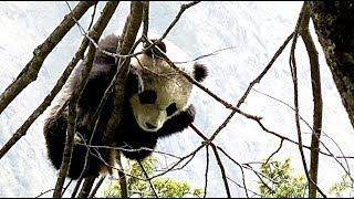 Wild panda cub sighted climbing a tree in southwest China