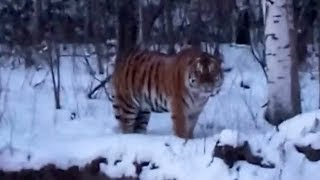 Wild Siberian tiger surprises villagers in northeast China