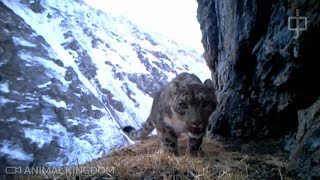 Snow leopards captured on camera over 300 times in northwest China