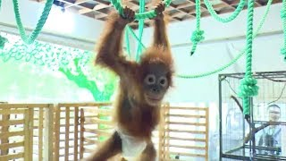 Baby orangutan's first birthday celebrated by Shanghai Zoo
