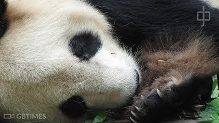 Giant panda cubs get microchip implants